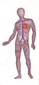 heart_veins_arteries_circulculatory_system