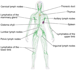 LymphaticSystem_FemaleSm
